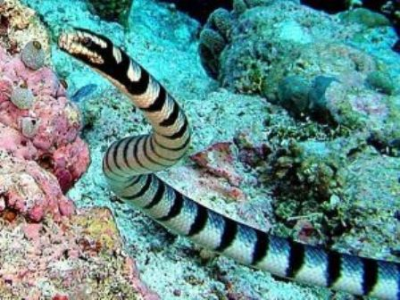 belchers-sea-snake