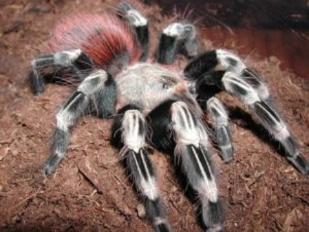 brazilian-giant-tawny-red-tarantula