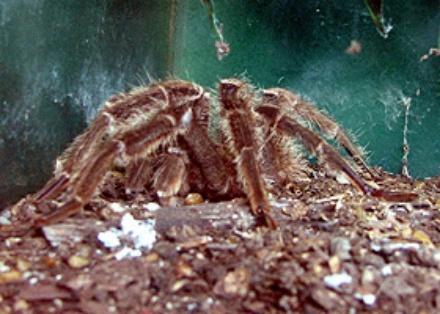 hercules-baboon-spider