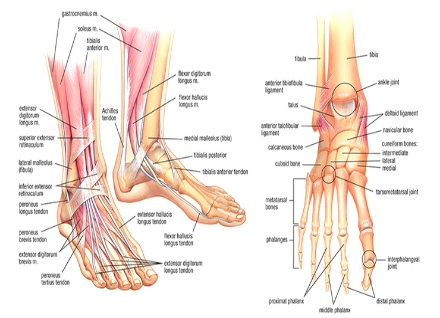 the human hands and feet