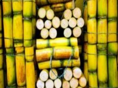 Sugarcane Farming in Nigeria