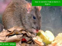 How to effectively get rid of rats at home in Nigeria